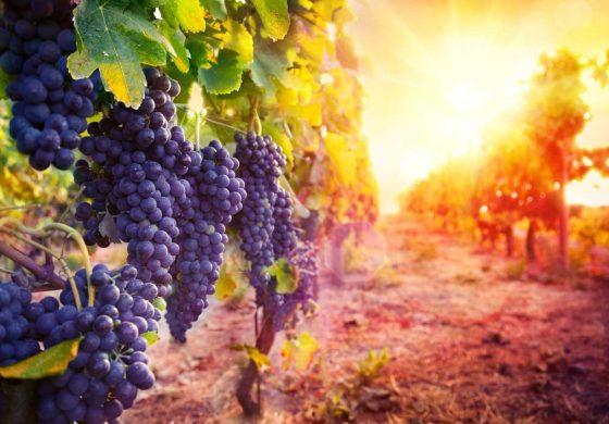 Bere vino Bio aiuta a correre meglio